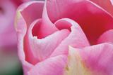 Pink Tulip I Photographic Print by Dana Styber