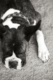 Boxer Black and White Fotoprint van Karyn Millet