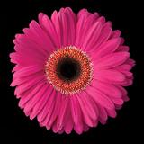 Pink Gerbera Daisy Impressão fotográfica por Jim Christensen