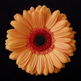 Orange Gerber Daisy Fotografisk tryk af Jim Christensen