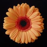 Orange Gerber Daisy Photographic Print by Jim Christensen