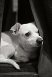 Napping Black and White Impressão fotográfica por Karyn Millet