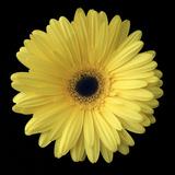 Yellow Gerbera Daisy Premium fototryk af Jim Christensen