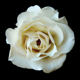 White Rose II Impressão fotográfica por Jim Christensen