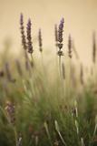 Lavender I Impressão fotográfica por Karyn Millet