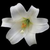 White Lily Impressão fotográfica por Jim Christensen
