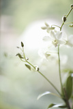 White Orchid II Photographic Print by Karyn Millet