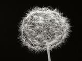Dandelion 1 Fotografisk tryk af Jim Christensen
