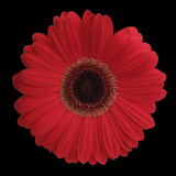 Red Gerbera Daisy Impressão fotográfica por Jim Christensen