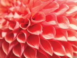 Coral Funnel Dahlia Photographic Print by Dana Styber