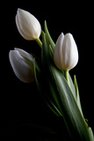Tulips IV Photographic Print by C. McNemar