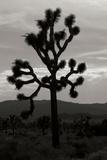 Yucca Brevifolia I Reproduction photographique par Erin Berzel