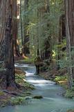 Redwood Forest IV Impressão fotográfica por Rita Crane