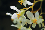 White Orchids II Photographic Print by Brian Moore