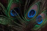 Peacock Feathers 1 Reproduction photographique par Erin Berzel