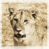 Young Africa Lion Reproduction photographique par Susann Parker