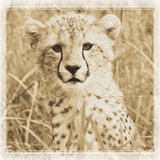 Young Africa Cheetah Reproduction photographique par Susann Parker