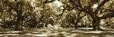 Druid Oaks Panel I Valokuvavedos tekijänä Alan Hausenflock