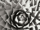 Agave I Photographic Print by Bob Stefko