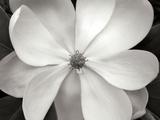Magnolia I Premium fototryk af Jim Christensen