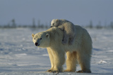 Polar Bear Cub Riding On Its Mother's Back Fotografisk trykk av Norbert Rosing
