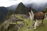 The Ruins At Machu Picchu and a Curious Llama Lámina fotográfica por Kent Kobersteen