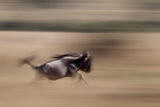 A Wildebeest Running in the Masai Mara Photographic Print by Robin Moore