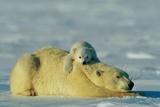 This Young Polar Bear (Ursus Maritimus) Cub Rests Comfortably Atop the Back of His Mother Lámina fotográfica por Norbert Rosing