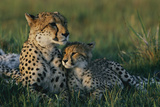 A Female African Cheetah (Acinonyx Jubatus Jubatus) and Her Cub Fotografisk tryk af Chris Johns
