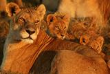 African Lioness, Panthera Leo, and Her Cubs Resting Fotografisk trykk av Beverly Joubert