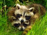 A Portrait of Two Raccoon Kits in Grass Lámina fotográfica por Terri Moore