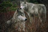 Gray Wolves in Red Willows 写真プリント : ジム・アンド・ジェイミー・ダッチャー