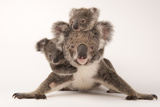 A Federally Threatened Koala with Her Offspring, One of Which Is Adopted Stretched Canvas Print by Joel Sartore