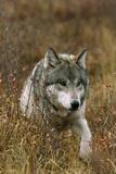 A Roaming Alpha Male Gray Wolf Reproduction photographique par Jim And Jamie Dutcher