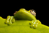A Treefrog, Hyloscirtus Sp., Peers From Behind a Leaf Fotografie-Druck von Robin Moore