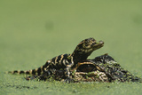 Baby Alligator On Mother's Head Among Duckweed Fotografisk tryk af Chris Johns