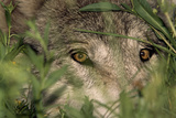 A Gray Wolf Peering Through Vegetation Stampa fotografica di Jim And Jamie Dutcher