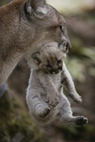 Mother Mountain Lion, Felis Concolor, Carries a Two-week-old Kitten Stampa fotografica di Jim And Jamie Dutcher