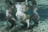 A Manatee Family, Mother and Two Calves, Possibly Twins, Come Up for Air Photographic Print by Mauricio Handler