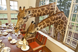 Rothschild Giraffes with Heads Through a Window, Eating From a Table Fotografisk tryk af Robin Moore