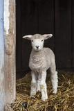A Baby Romney Lamb Stands in a Barn On Some Hay Fotografisk tryk af Karine Aigner