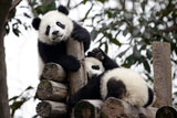 Captive Giant Pandas Climbing and Playing At a Research Center Photographic Print by Kent Kobersteen