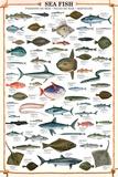 Sea Fish Educational Poster Posters