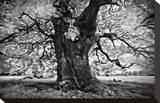 Portrait of a Tree, Study 3 Stretched Canvas Print by Marcin Stawiarz