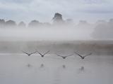 Canada Geese Fly Over Pen Ponds in Winter Reproduction photographique par Alex Saberi