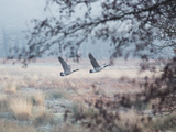 Canada Geese Flying Though a Wintery Richmond Park Fotografisk tryk af Alex Saberi