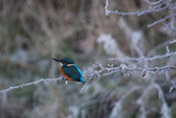 A Brilliantly Hued Kingfisher Sits on a Frost Covered Branch Impressão fotográfica por Alex Saberi