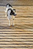 An Australian Shepherd Dog on a Wooden Deck Surrounded by the Shadows of a Railing Reproduction photographique par Amy & Al White & Petteway