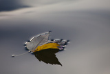 A Maple Leaf in Autumn Floats on Calm Water in the Chesapeake Bay Photographic Print by Kent Kobersteen