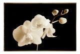 Phalaenopsis, Little Sierra Kunstdrucke von Sondra Wampler